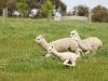 alpacasrun