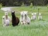 alpacasrunning