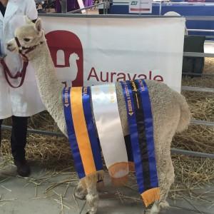Auravale Lucian Supreme Champion